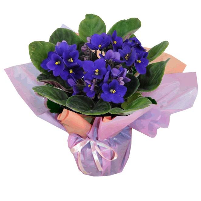 pedido de desculpas para namorada vaso de violetas