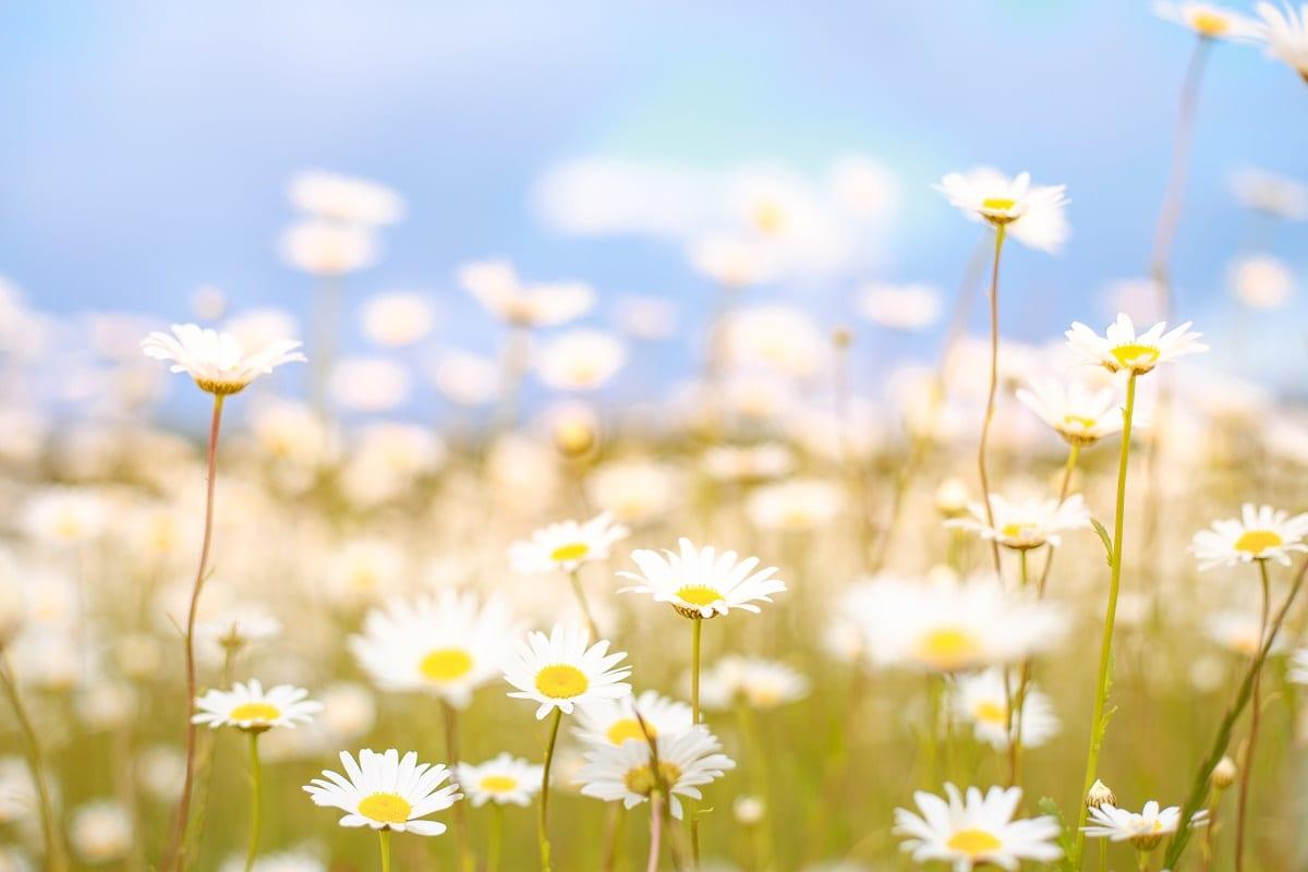 significado da flor margarida