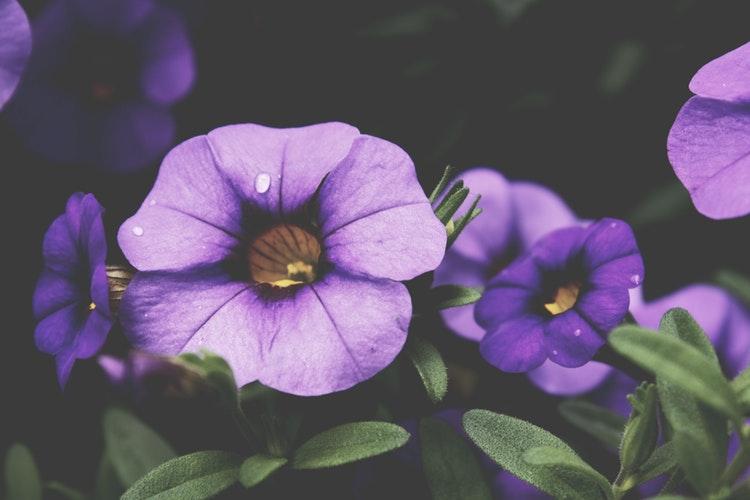 saiba mais sobre violetas