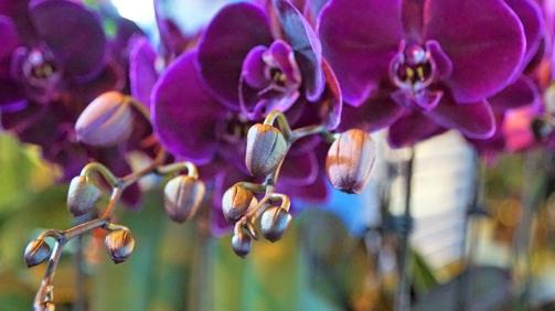Orquídeas para o Brasil