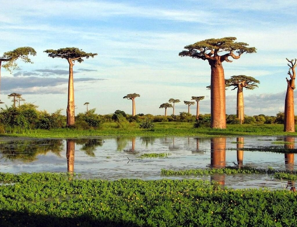 curiosidades sobre o baobá