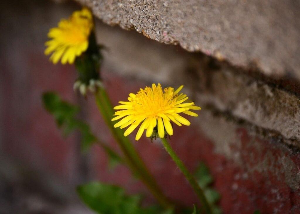 Flor Dente-de-Leão: delicadeza que marca