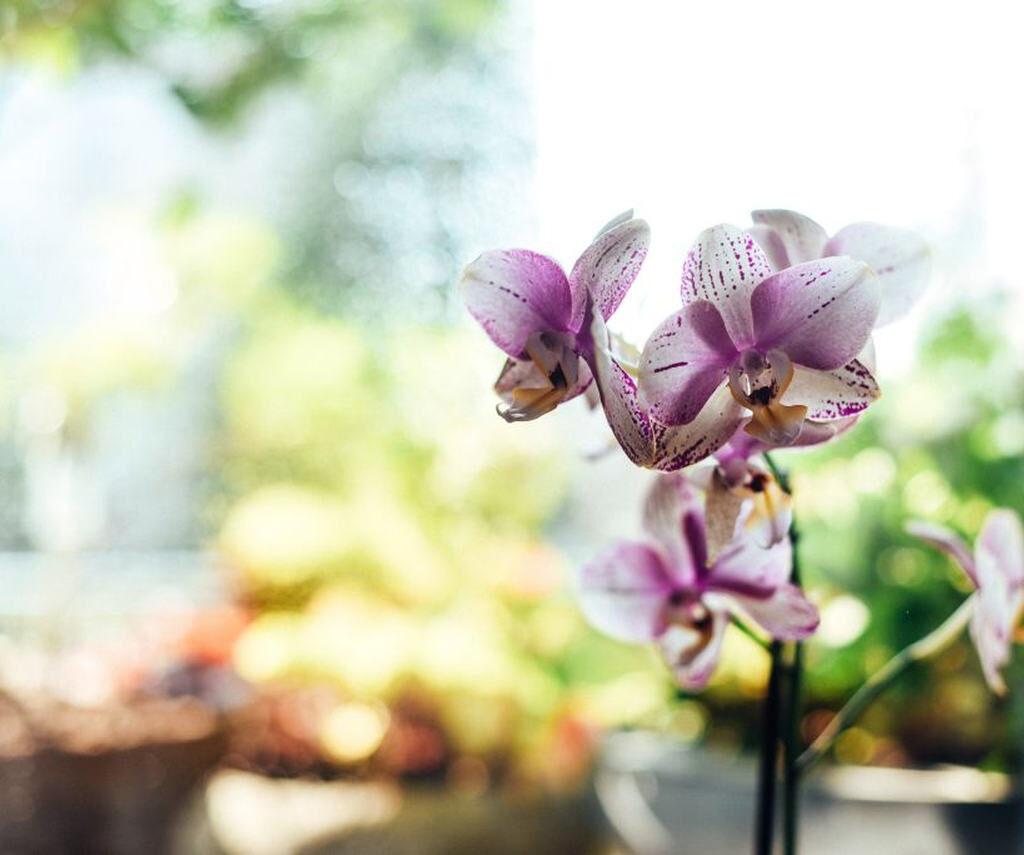 tipos de orquideas mais comuns