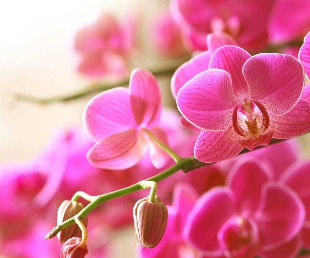 tipos de orquideas no brasil