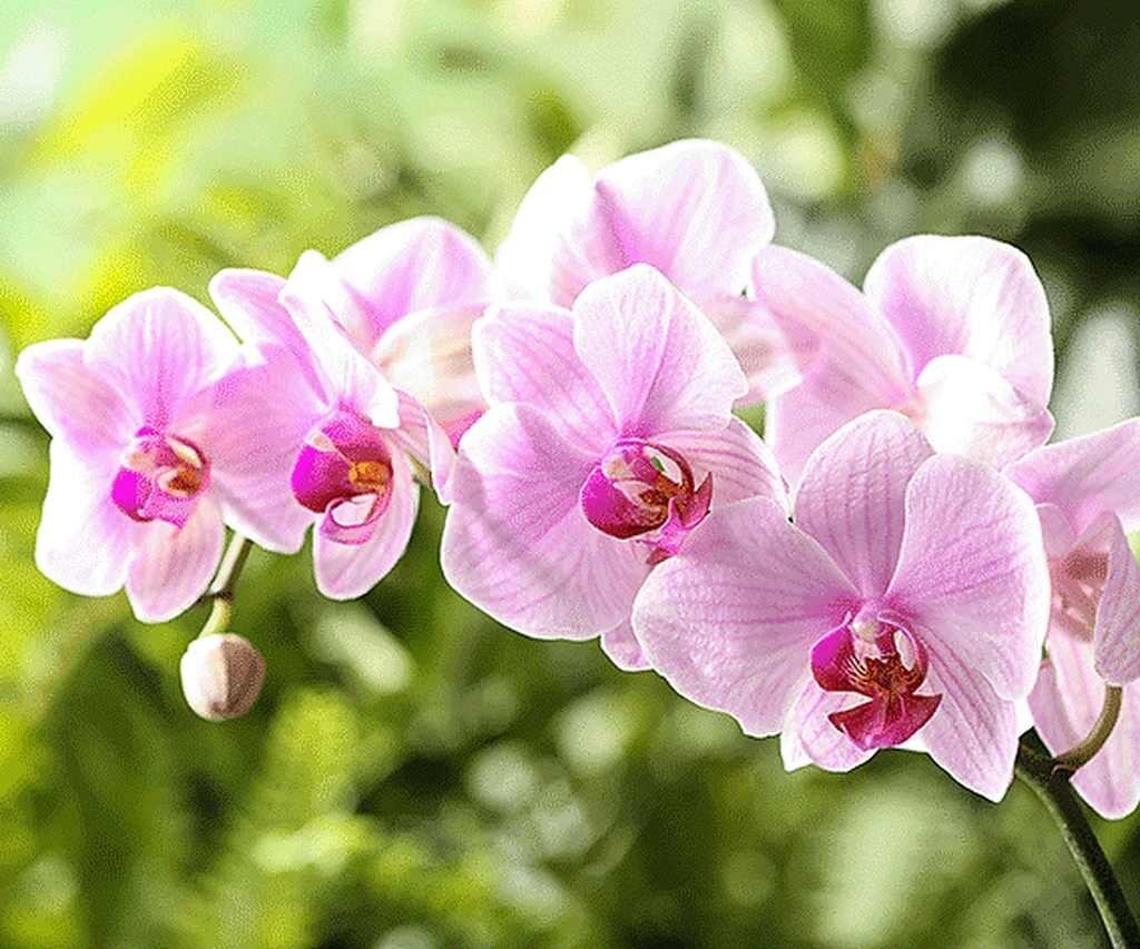 tipos de orquideas phalaenopsis