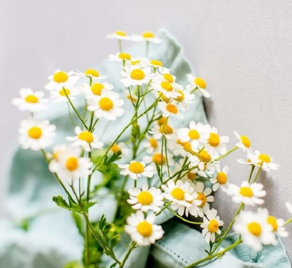 flor de cada signo margaridas